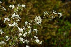 De Rhodora de fleur fond vert brouillé fini étroit blanc  Image stock