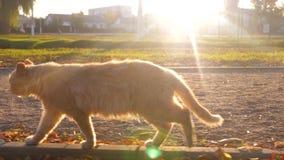 De richels door het park in de stralen van de het plaatsen zon huisdieren een mooie kat loopt langs een weg in de stralen stock videobeelden