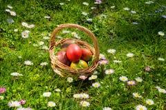 De rieten mand van Pasen met eieren op gebied van madeliefjes in een zonnige de lentedag Royalty-vrije Stock Foto's