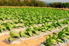 De rij van de tabak royalty-vrije stock afbeelding