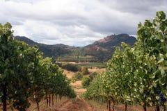 De Rij van de wijnstok Stock Foto