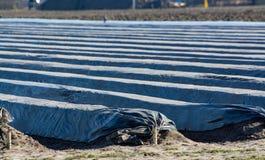 De rijen op witte die aspergegebieden met plastic film worden behandeld, beginnen van nieuw aspergeseizoen op aspergelandbouwbedr stock foto