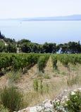 De rijen van Beautiul van druiven in vineyeard Stock Afbeelding