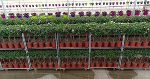 De rijen van bloemen in potten in een serre, het groeien bloeit in een serre, vele kleurrijke installaties, die installaties kwek stock video