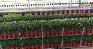 De rijen van bloemen in potten in een serre, het groeien bloeit in een serre, vele kleurrijke installaties, die installaties kwek stock footage