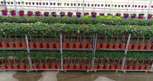 De rijen van bloemen in potten in een serre, het groeien bloeit in een serre, vele kleurrijke installaties, die installaties kwek stock videobeelden