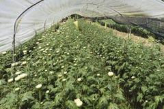 De rijen van chrysant planten in de serre Stock Afbeelding