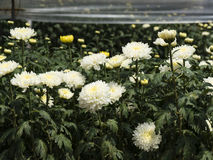 De rijen van chrysant planten in de serre Stock Foto's