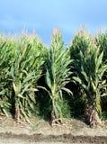 De Rijen van de maïs Royalty-vrije Stock Afbeeldingen