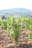 De rijen van de wijngaard Stock Afbeelding