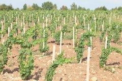 De rijen van de wijngaard Royalty-vrije Stock Foto's