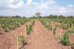 De rijen van de wijngaard Royalty-vrije Stock Afbeeldingen