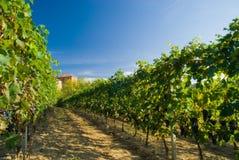 De rijen van de wijngaard Royalty-vrije Stock Foto