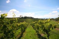 De rijen van de wijngaard stock foto