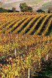 De Rijen van de Wijngaard van Sonoma Royalty-vrije Stock Foto's