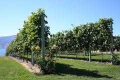 De rijen van de wijnmakerij Stock Fotografie