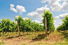 De rijen van de wijnstok royalty-vrije stock afbeeldingen