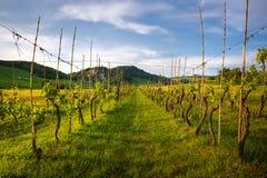 De rijen van de wijnstok in Toscanië land Royalty-vrije Stock Fotografie