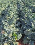 De Rijen van het broccoligewas Royalty-vrije Stock Fotografie
