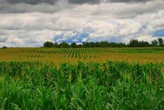 De Rijen van het graan Stock Fotografie