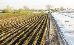 De rijen van jonge aardappels groeien op het gebied Druppelbevloeiing Landbouwgrond, landbouwlandschap Landelijke aanplantingen L stock fotografie