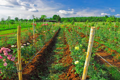 De rijen van kleurrijk namen in roze landbouwbedrijf toe Royalty-vrije Stock Foto's