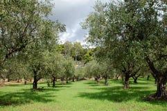 De rijen van olijfbomen Royalty-vrije Stock Foto's