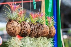 De rijen van Tillandsia en Spaans mos mengen opnieuw Stock Fotografie