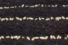 De rijen van zaden in de grond stock foto