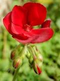 De rijke rode bloembloemblaadjes en de knoppen in de geranium van het tuingroen stellen tuininstallatie in de schaduw Stock Foto's
