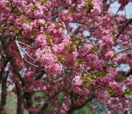 De rijkelijke roze bloesems van de kersenboom stock fotografie