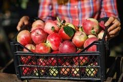 De rijpe appelen brengen een doos na het oogsten aan royalty-vrije stock fotografie
