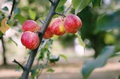 De rijpe appelen groeien in de tuin Royalty-vrije Stock Foto's