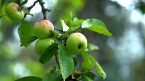 De rijpe appelen hangen op een groene boom onder de bladeren op een de zomerdag stock footage