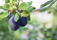 De rijpe blauwe pruimen groeien op een boom in de tuin stock foto