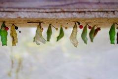 De rijpe cocon van de vlinder hangt in insectarium stock afbeelding