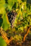 De rijpe Druiven van de Wijn Royalty-vrije Stock Foto