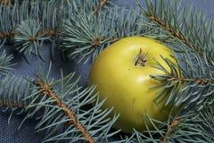 De rijpe gele appel ligt onder de takken van blauwe sparren Royalty-vrije Stock Afbeelding