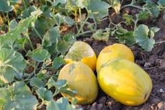 De rijpe gele meloenen worden gegeten door ongediertedieren Stock Fotografie