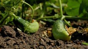 De rijpe komkommers liggen op de grond in de tuin Het kweken van komkommers in de serre Ecologisch schoon maak 4K 4K video stock videobeelden
