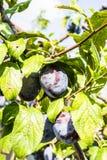 De rijpe pruimen van vruchten Royalty-vrije Stock Afbeeldingen