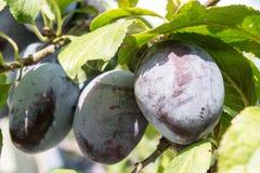 De rijpe pruimen van vruchten Stock Afbeeldingen