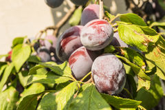 De rijpe pruimen van vruchten Stock Afbeelding