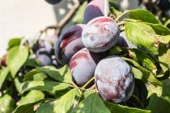 De rijpe pruimen van vruchten Stock Fotografie
