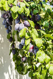 De rijpe pruimen van vruchten Stock Foto's