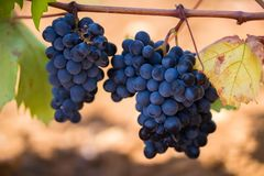 De rijpe purpere druiven met bladeren in natuurlijke voorwaarde, de wijngaard van Puglia van Primitivo-druif groeit in zuidelijk  stock foto's