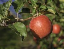 De rijpe roze verscheidenheid van de dameappel op een appelboom in Zuid-Tirol in Italië De tijd van de oogst Rijpe appel ter plaa stock foto's