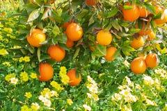 De rijpe sinaasappelen hangen op takken Royalty-vrije Stock Foto