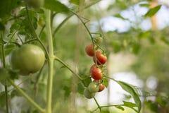 De rijpe, verse tomaten van rode, gele, groene kleur hangen op de takken in de serre Stock Afbeeldingen