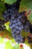 De rijpende Druiven van de Wijn Royalty-vrije Stock Afbeeldingen